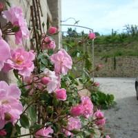 Le rose di maggio